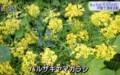 公園で除去された「ハルザキヤマガラシ(春咲き山辛子)。(30.5.30)