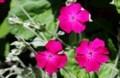 「スイセンノウ(酔仙翁)」など、リクニス類が真っ盛り。(30.6.1)