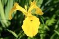 ハス田のわきに、「キショウブ(黄菖蒲)」の花。(30.6.2)