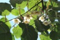 開花し始めた「キウイフルーツ」。(30.6.3)