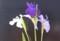 色の違う3種の「カキツバタ(杜若)」。(30.6.4)
