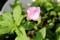 朝、ピンクに変色した「ツキミソウ(月見草)」830.6.5)