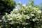 「卯月」の終わりに、咲き始めた「卯の花・ウツギ(空木)」。(30.6.7)