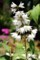 初夏を彩る「ウツギ(空木)」の花。830.6.7)