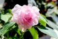 バラ咲きのインパチェンス・「カリフォルニアローズ・フィエスタ」の
