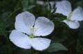 咲き始めた「ツキミソウ(月見草)」の花。(30.6)