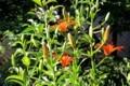 「スカシユリ」が、皐月朔日に咲き始めました。(30.6.14)