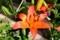 近寄って観た「スカシユリ」の花。(30.6.14)