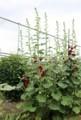 梅雨入り、下部から咲き始めた「タチアオイ(立葵)」の姿。(30.6.15)
