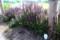 「サルビア・ネモィィラ」が茂る。(30.6.17)