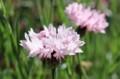 「ヤグルマギク(矢車菊)」の花。(30.6.19)