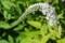 咲き始めた「オカトラノオ(岡虎の尾)」。(30.6.19)
