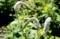 花序が面白い、「オカトラノオ(岡虎の尾)」(30.6.19)