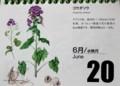 『北海道 花暦』、「ゴウダソウ(合田草)」(30..6.20)