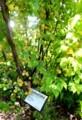 「リュウキョウコウメ(竜峡小梅)」が豊作。(30.6.19)