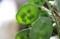 種子が透けて見える、「ルナリア」。(30.6.20)