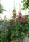 夏至、「タチアオイ(立葵)」の花が半分ほど咲き進んで。(30.6.21)