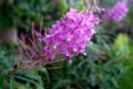 「ヤナギラン」が、「賢治ガーデン」で咲く。(30.6..21)