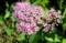 炎天下に咲く「シモツケ(下野)」の花。(30.6..22)