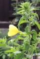 横から観た、開花第2号の「オオマツヨイグサ(大待宵草)」の花。(30