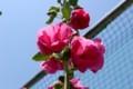 梅雨の晴れ間、「タチアオイ(立葵)」の花。(30.6.25)