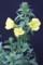 お気に入り、大振りな花の「オオマツヨイグサ(大待宵草)」(30.6.27)