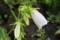お気に入り、「白花・ホタルブクロ」。(30.6.28)