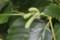 「ツノハシバミ」、角(つの)のような若い果実。(30.6.30)
