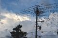 電線いっぱいに「ムクドリ(椋鳥0」が…、(30.6.30)