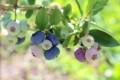熟し始めた、「ブルーベリー」の果実。(30.7.3)