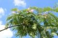 「ネム(合歓)」の木に、ほんのりピンクの花が…。(30.7.2)