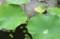 「大賀ハス」、葉を広げ、花蕾をのぞかせて。(30.7.5)