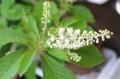 「リョウブ(令法)」の花が咲いて。(30,7,)