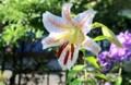 「ヤマユリ(山百合)」が、我が家で初咲き。830.7.9)