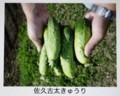 伝統野菜・「佐久古太(こだい)」胡瓜。(30.7.109