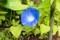 背が低いまま、「ヘヴンリーブルー朝顔」が咲いて。(30.7.11)