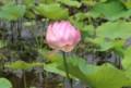 「大賀ハス」の初咲き。(30..7.11)午後、萎みかけて…。