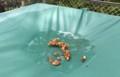 軽トラ・荷台シートの水溜まりに、「カヤ(榧)の種子。(30.7.12)