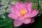 「これぞハスの花」。(30.7.13)