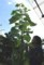 背の高い「ヒマワリ(向日葵)」の高さ測定。'(30.7.14)