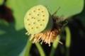開花第1号は、「蜂巣(はちす)」状態に。(30.7.14)