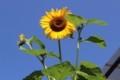 高く伸びて、開花した「ヒマワリ(向日葵)」の花。(30.7.11)