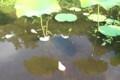 「散り蓮華」、水面を滑る…。(30.7.15)