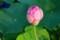 明朝に開花予定の「大賀ハス・蕾」。(30.7.16)