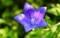 開いたばかりの「キキョウ(桔梗)」は。雄しべも雌しべも未熟。(30.7.