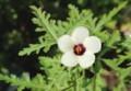 アオイ科の花「ギンセンカ(銀銭花)」の初花。(30.7.18)