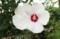 「ムクゲ(木槿)」(賢治ガーデン)(30.7.18)