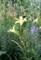 「キスゲ(貴菅)」も咲いて、早くも秋の風情が….(30.7.18)