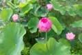 ハス田は、蕾、花、散り蓮華で賑やかい。(30.7.25)