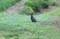 国鳥・キジ(雉)のお出迎え。(30.8.1)(6:00)